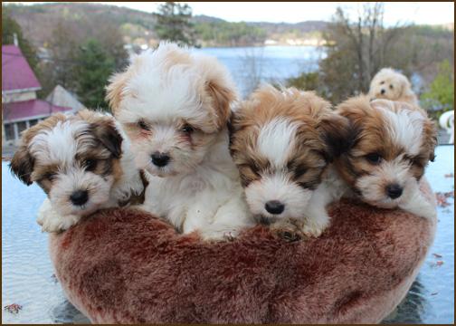 Legit Toy Poodle Mix Breeders In Ontario Redflagdealscom